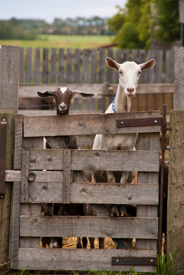Staring brown and white goats royalty free stock images