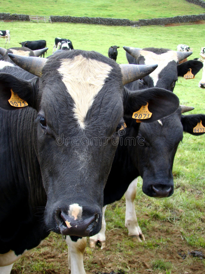 Download Staring bulls stock image. Image of animal, grass, agricultural - 5074561