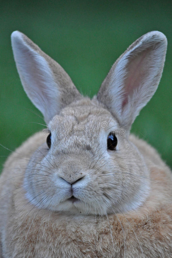 Download Staring bunny stock photo. Image of brown, listening - 15054022