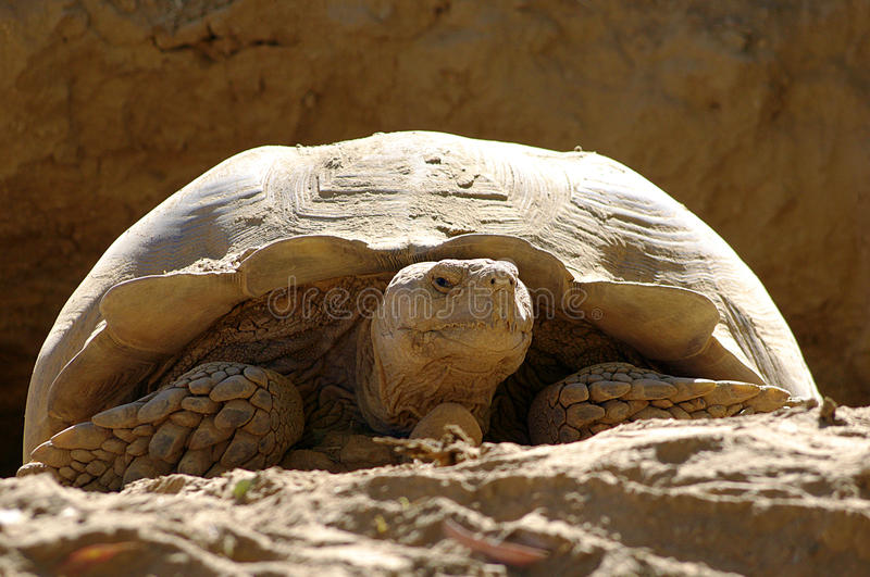 Staring Contest. A Desert Tortoise stares at the camera royalty free stock image