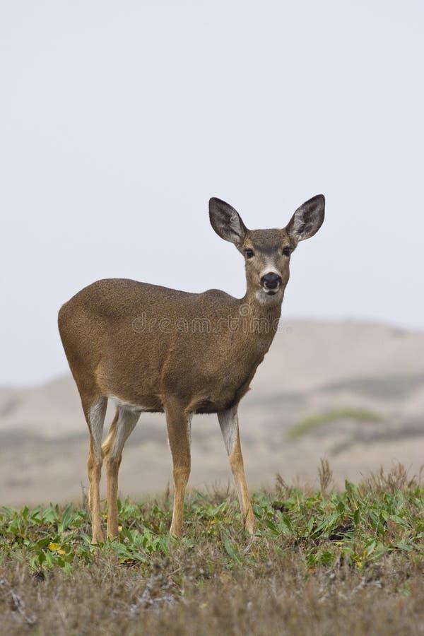 Download Staring Deer stock photo. Image of hill, meadow, look - 3935114
