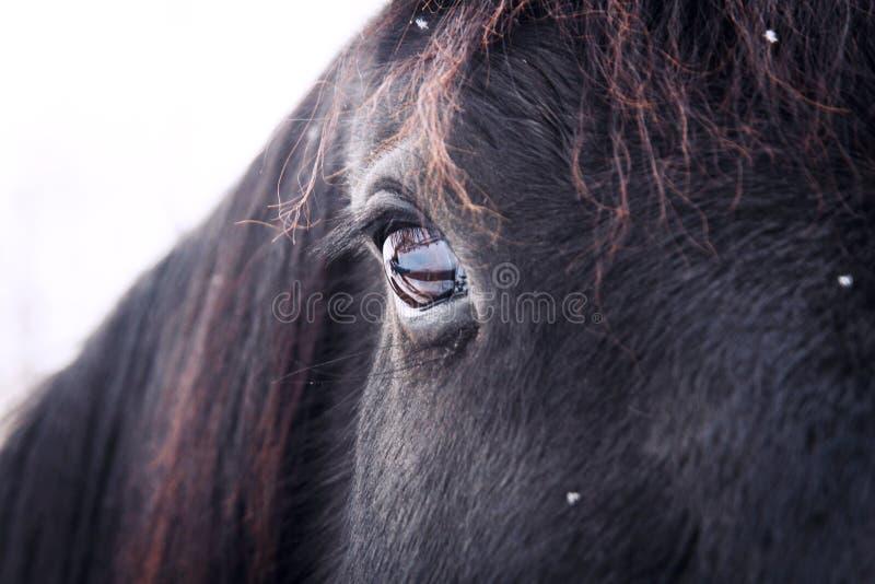 Staring eye of black horse royalty free stock photos