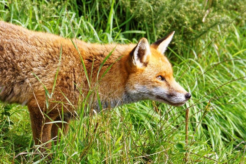Download Staring Fox stock image. Image of habitat, peering, nature - 59838623