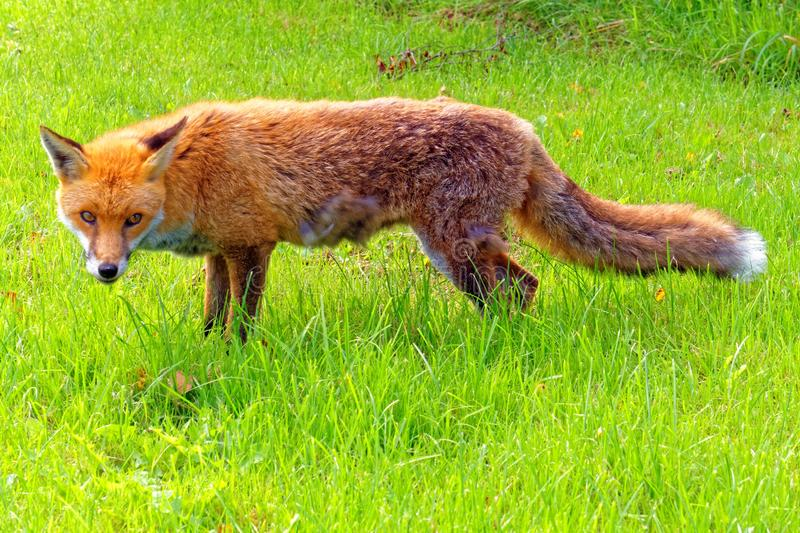 Staring Fox royalty free stock photo