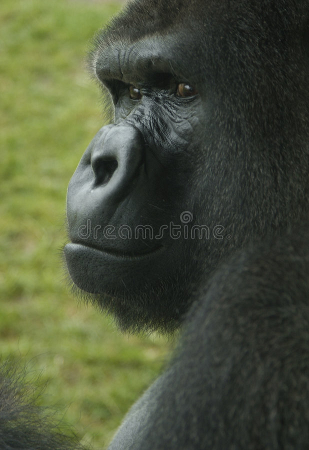 Staring gorilla royalty free stock images