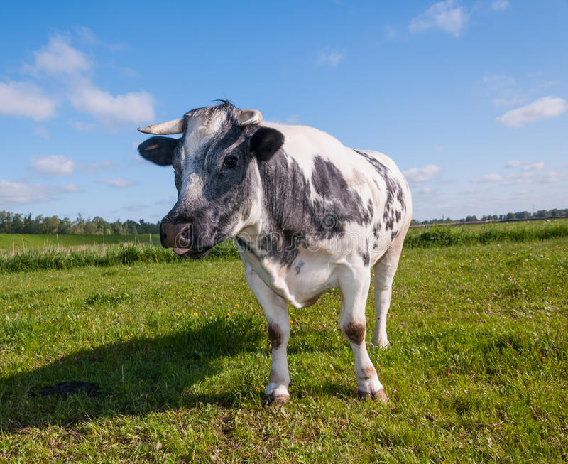 Staring Gray Spotted Cow Royalty Free Stock Photo