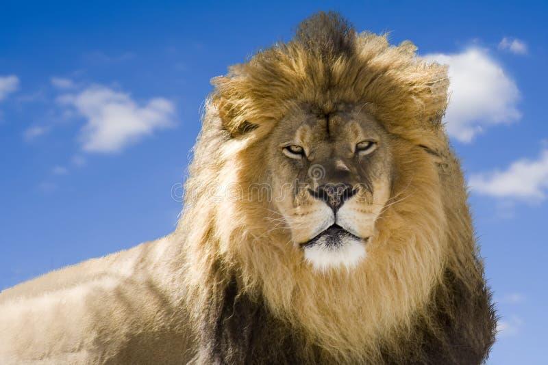 Staring Lion Royalty Free Stock Photo