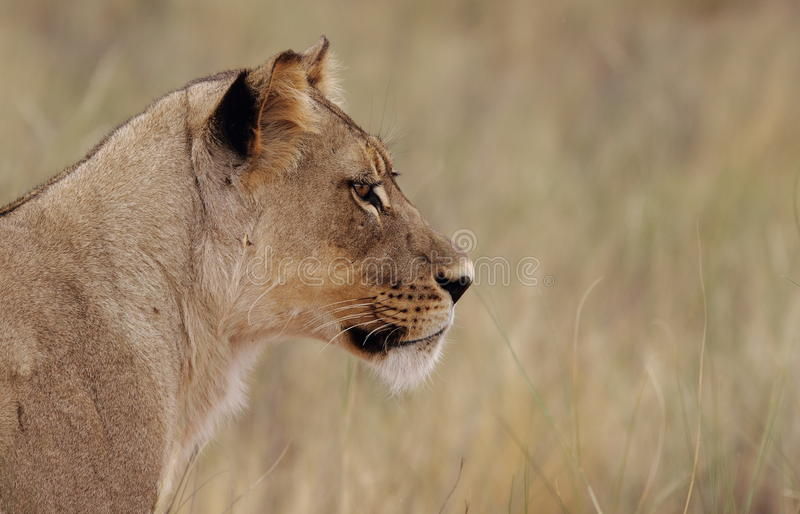 Download Staring Lioness stock photo. Image of park, panthera - 25293150