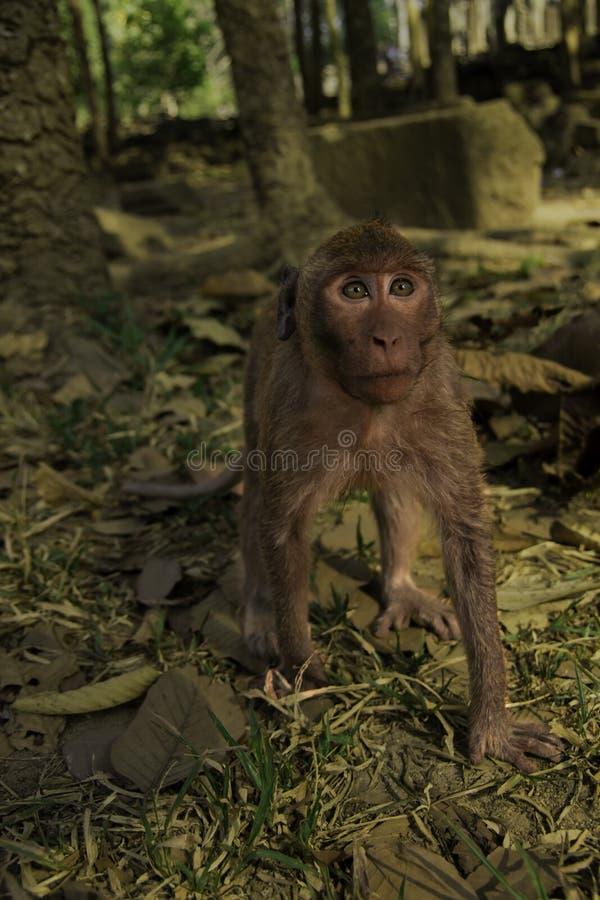 Staring Monkey royalty free stock photos