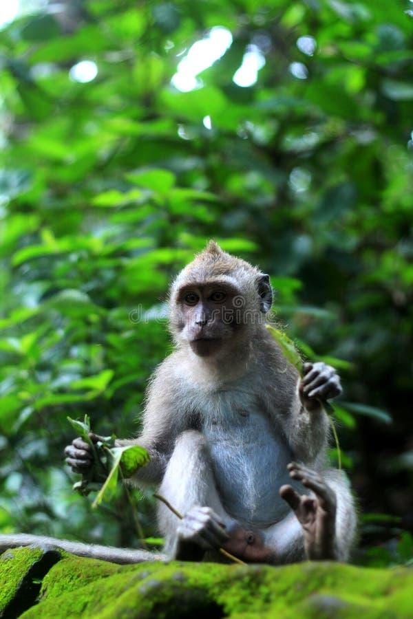 Staring monkey while eating stock photo
