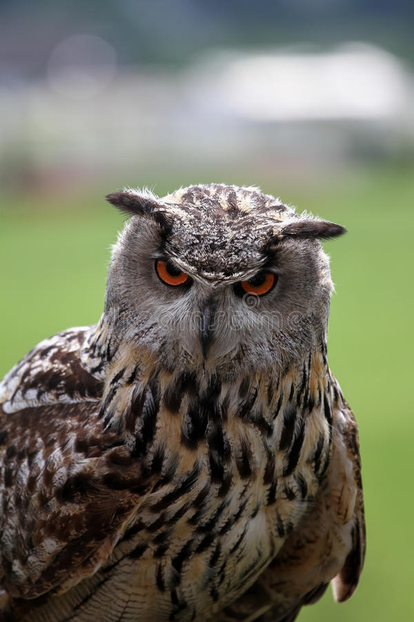Download Staring Owl stock image. Image of curiosity, power, stare - 36862841