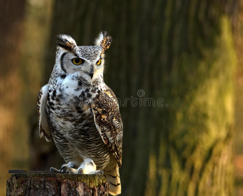 Staring owl. European eagle owl perched on tree-trunk and looking at the camera stock photos