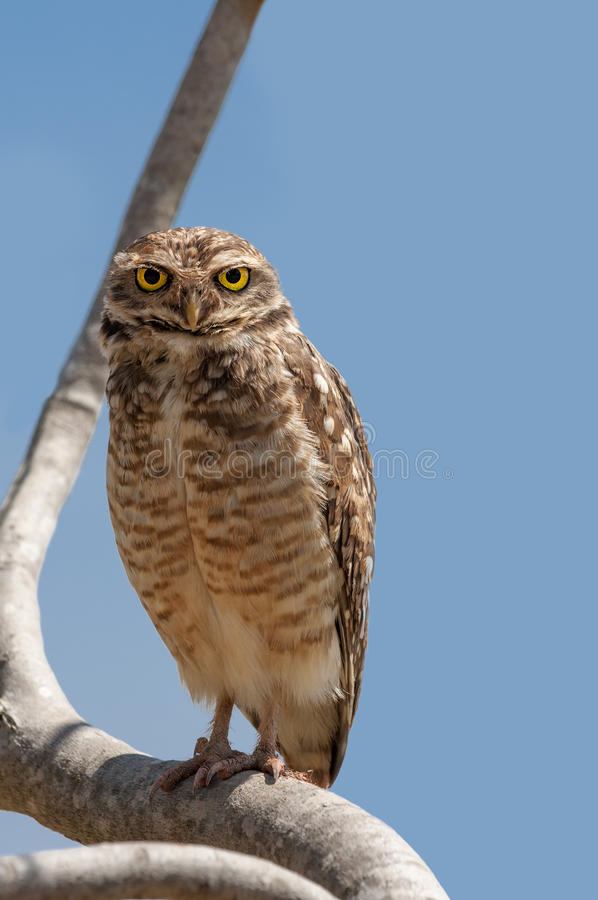 Download Staring Owl stock photo. Image of portrait, watching - 34507904
