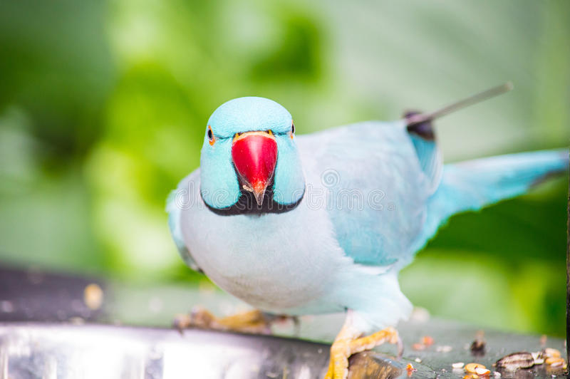 Staring Parrot stock image