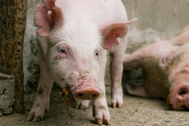 Download Staring Pig stock image. Image of livestock, pink, snout - 13348087