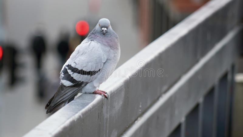 Staring pigeon sitting on the rail. A pigeon sitting on the railing of the shopping centre staring at me when I took the camera off the bag stock photo