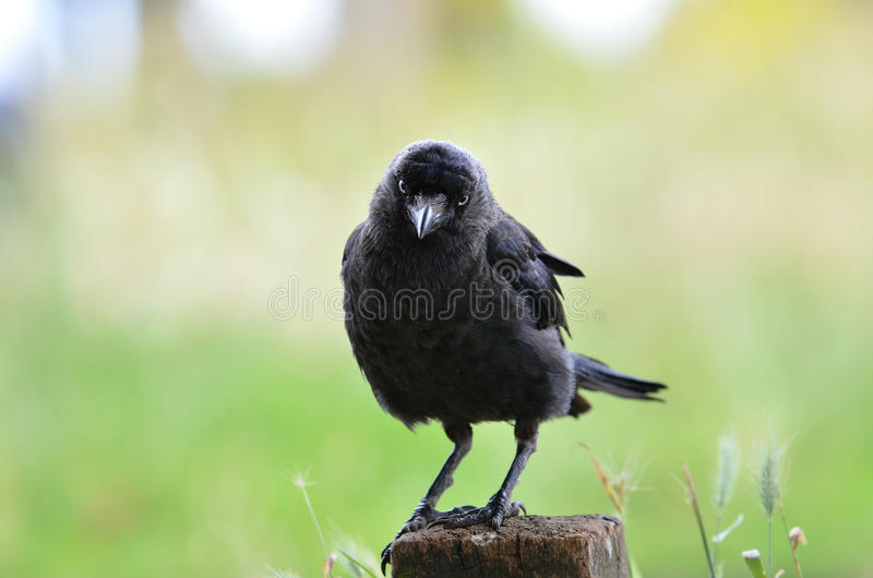Download Staring Raven In Richmond Park Stock Photo - Image: 28081942