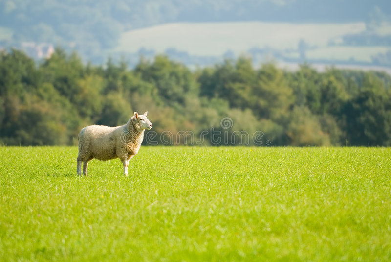 Download Staring Sheep stock image. Image of lamb, lush, landscape - 6534729