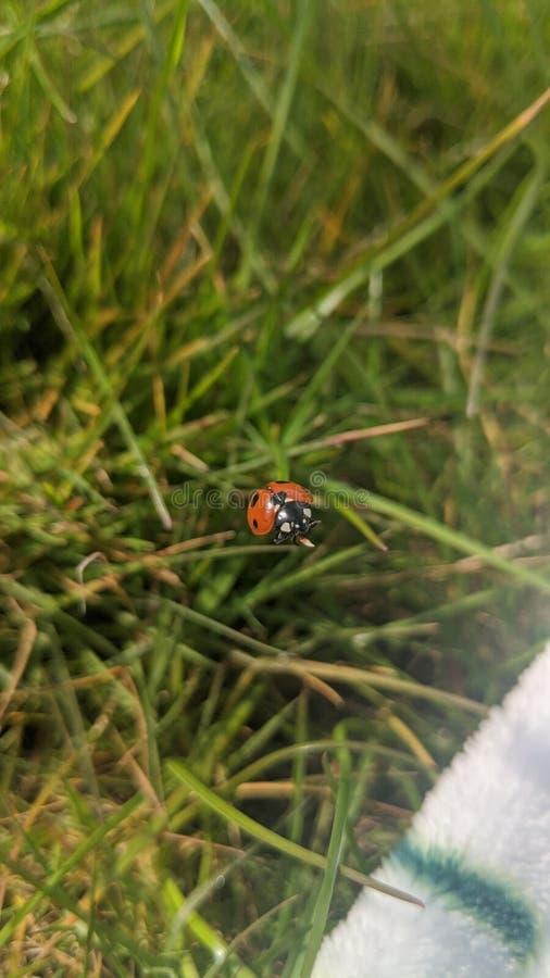 staring wedstrijd voor vrouwelijke insecten stock foto's