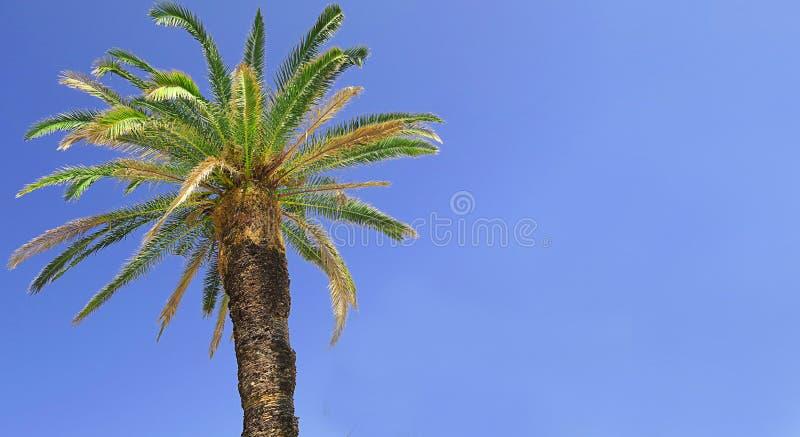 Stark bred palmtree med blå himmel i bakgrunden royaltyfria bilder
