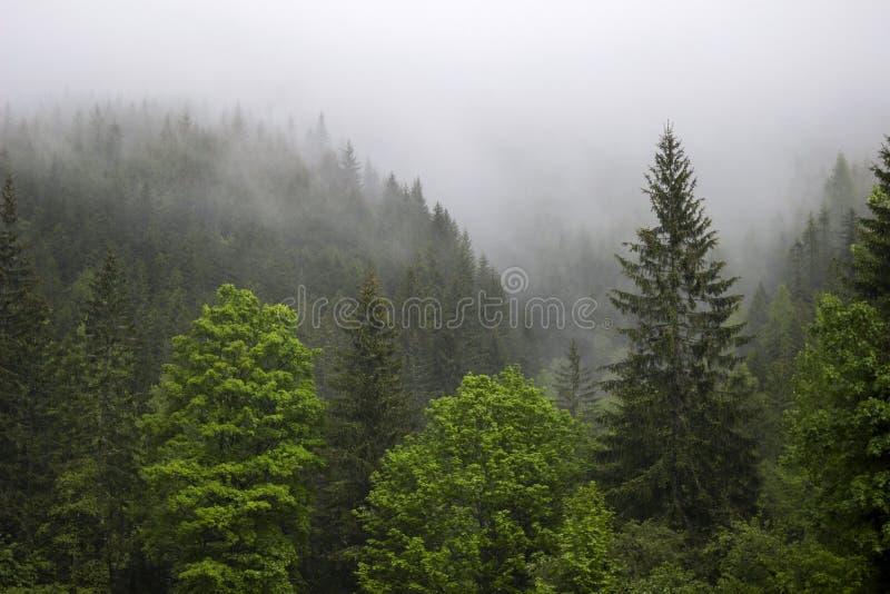 Stark dimma i skogen i bergen, sörjer träd och gamla träd royaltyfri fotografi