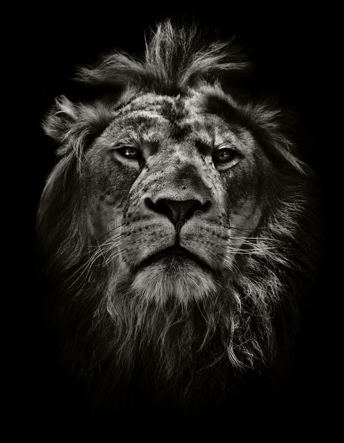 stark lion arkivbilder