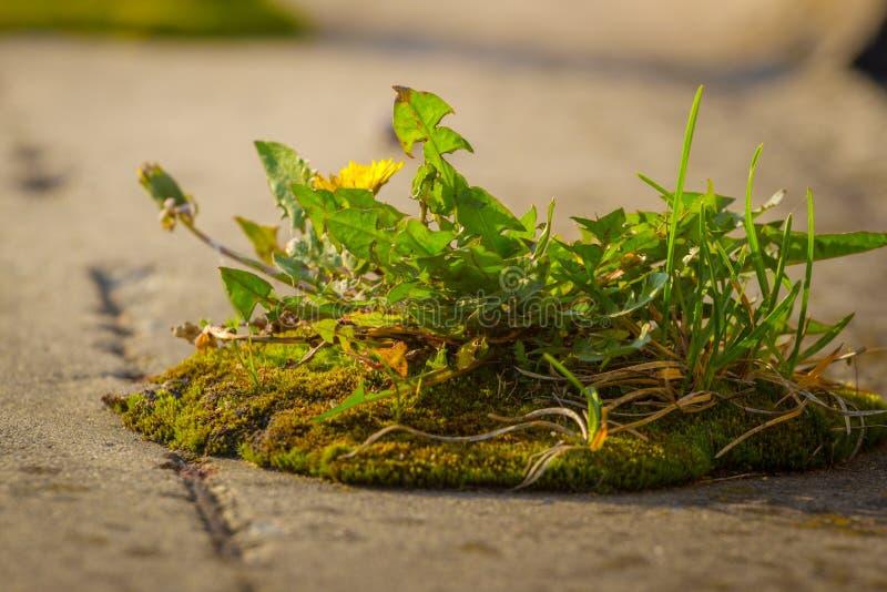 Stark planta som växer i den konkreta sprickan, affärsidé av att dyka upp ledarskapframgång som frambringar ny affär arkivfoto