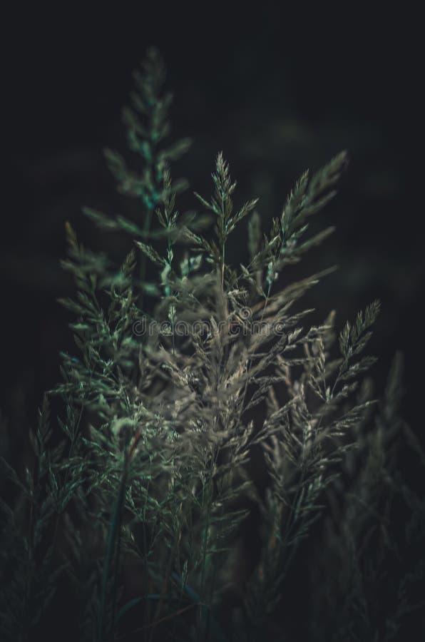 Stark suddig bakgrund av gröna fältörter Gröna spikelets på en mörk bakgrund fotografering för bildbyråer