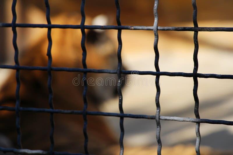 Stark unscharfes Schattenbild eines Tigers innerhalb des Käfigs lizenzfreie stockfotos