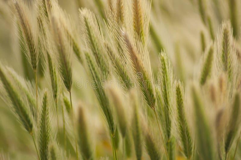 Stark vind som flyttar fragilgräset royaltyfri foto