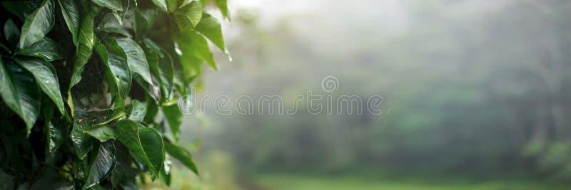 Starke grüne Blätter an bedeckt mit den Spinnennetzen naß vom Morgentau, breite Fahne der hohen Auflösung mit leerem Kopienraum f stockfotografie