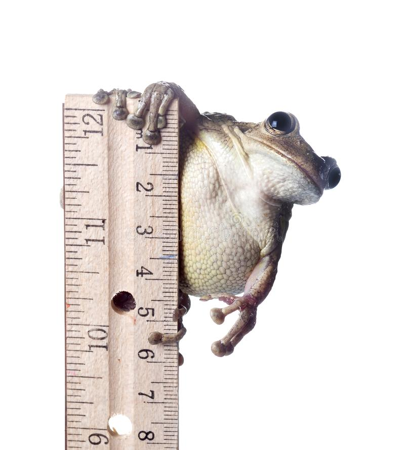 Starke septentrionalis Kubaner Treefrog Osteopilus auf einem Machthaber Getrennt auf wei?em Hintergrund lizenzfreies stockbild