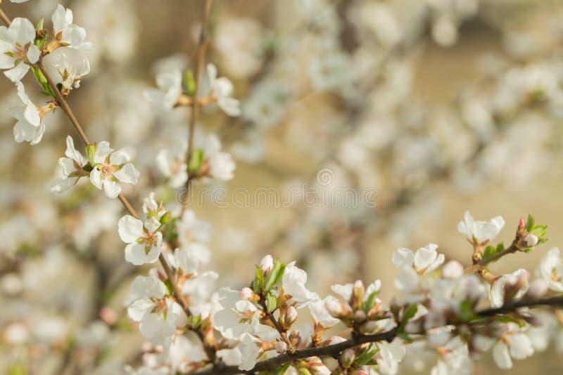 Starke weiß-rosa Blumen verzweigen sich von den Kirschblüten an einem Frühlingstag Großer Frühlingshintergrund lizenzfreie stockbilder