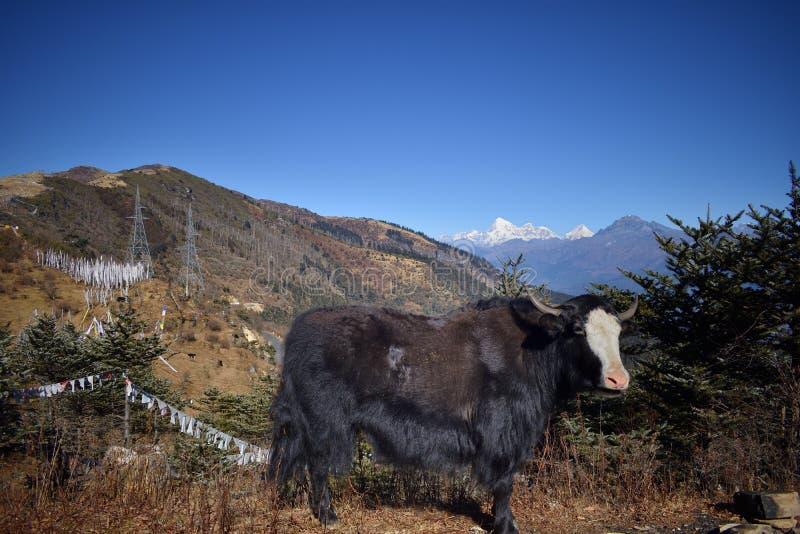 Starke Yak am Berg in Chelela, Himalaja, Bhutan lizenzfreies stockfoto