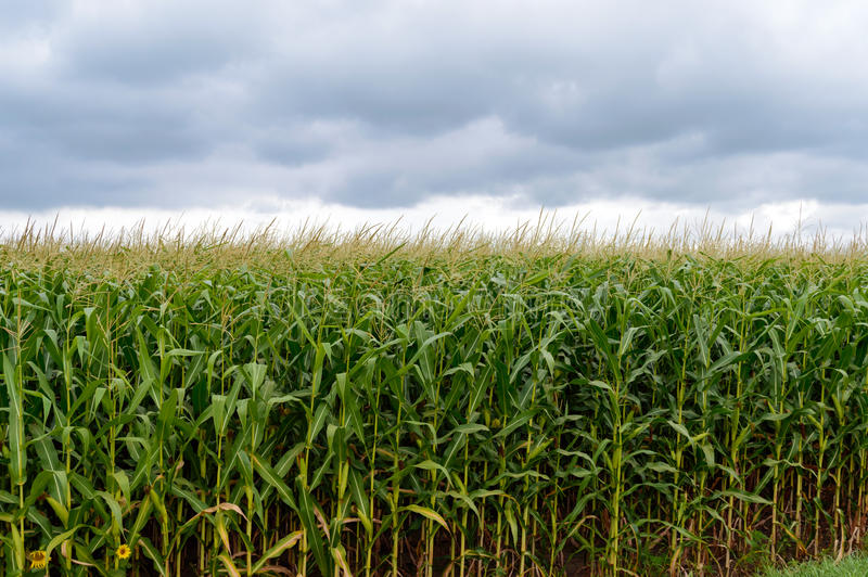 Starkes endlos grünes Feld des hohen Mais Graue Sturmwolken vor dem Regen lizenzfreie stockbilder