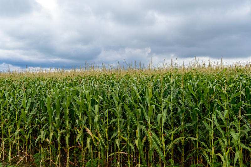 Starkes endlos grünes Feld des hohen Mais Graue Sturmwolken vor dem Regen stockfoto