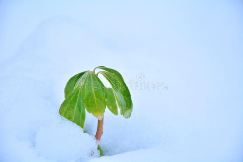Starkes Leben im Schnee stockfotos