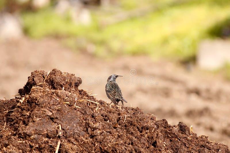Starling和肥料 库存照片