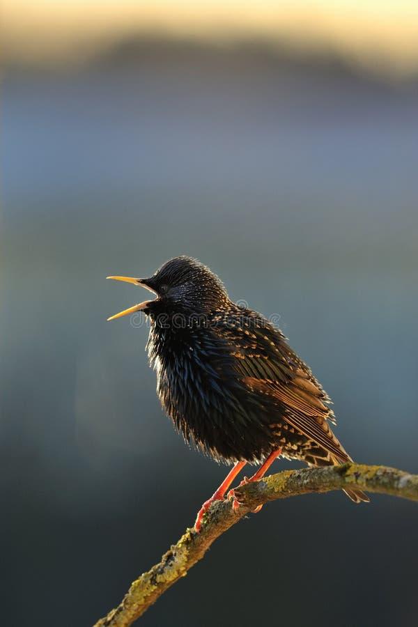 starling唱歌的春天 免版税库存照片