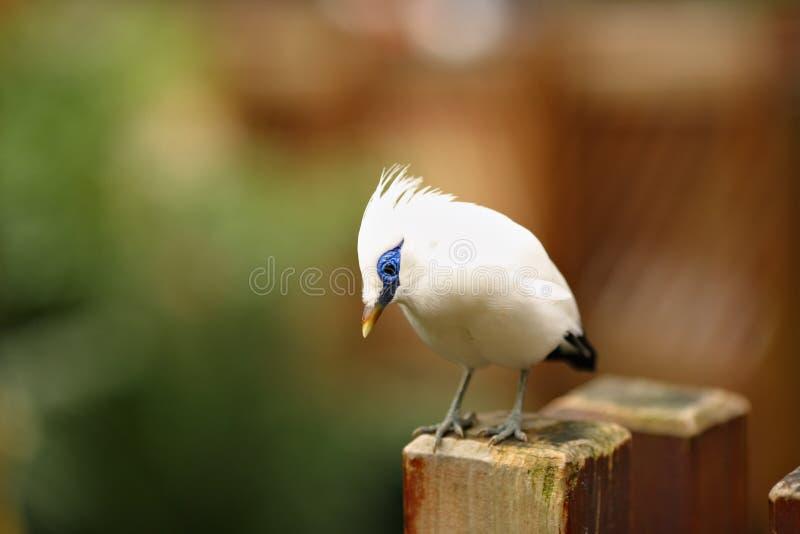 starling的巴厘岛 免版税库存图片