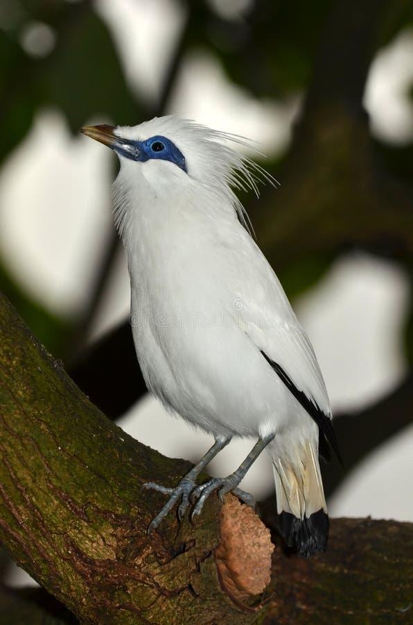 starling的巴厘岛 库存图片