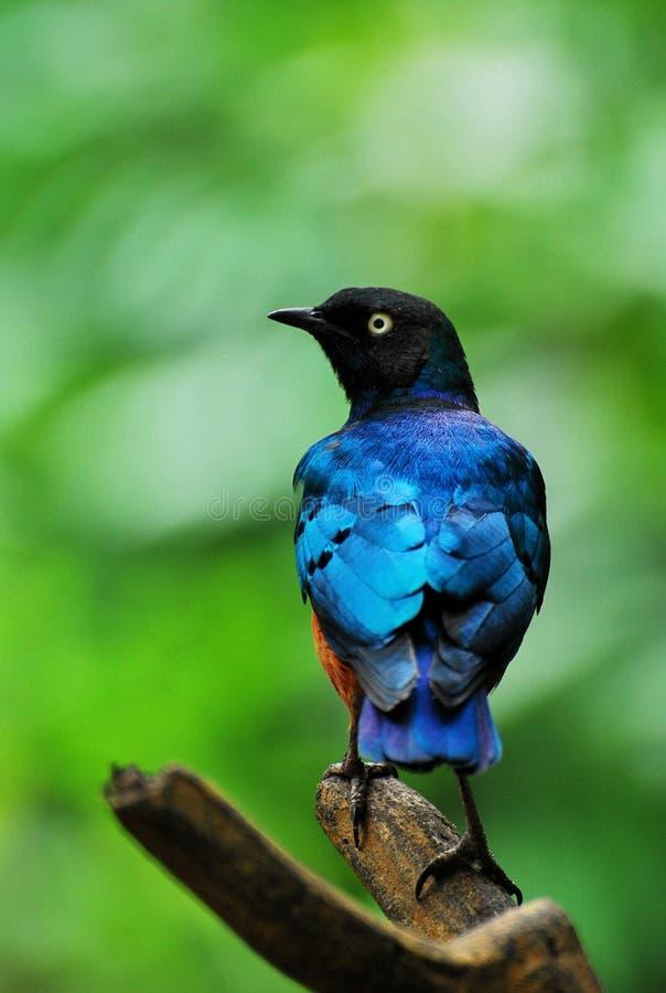 starling的鸟 库存图片