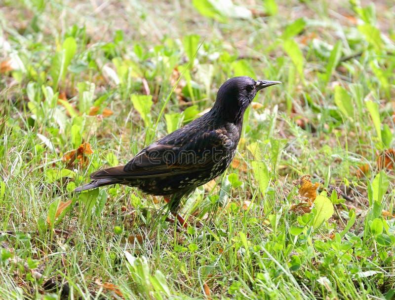 Starling в траве стоковая фотография