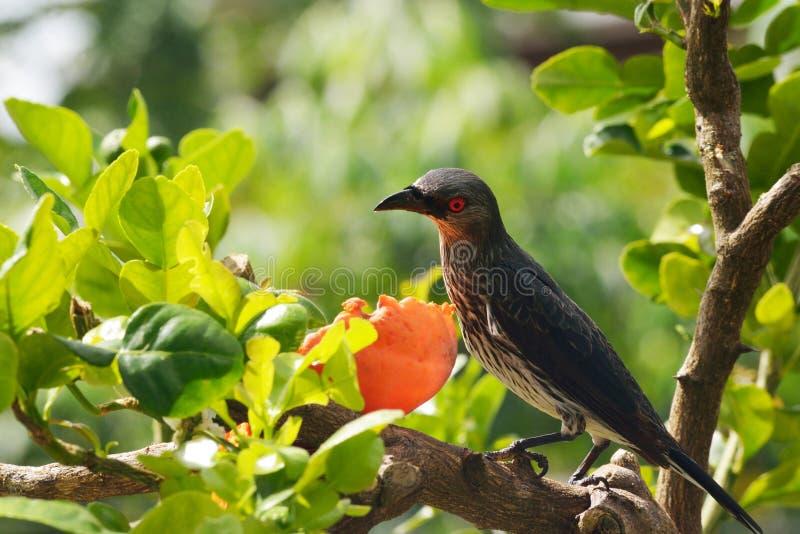 Starling наблюданный красным цветом на ветви стоковые изображения