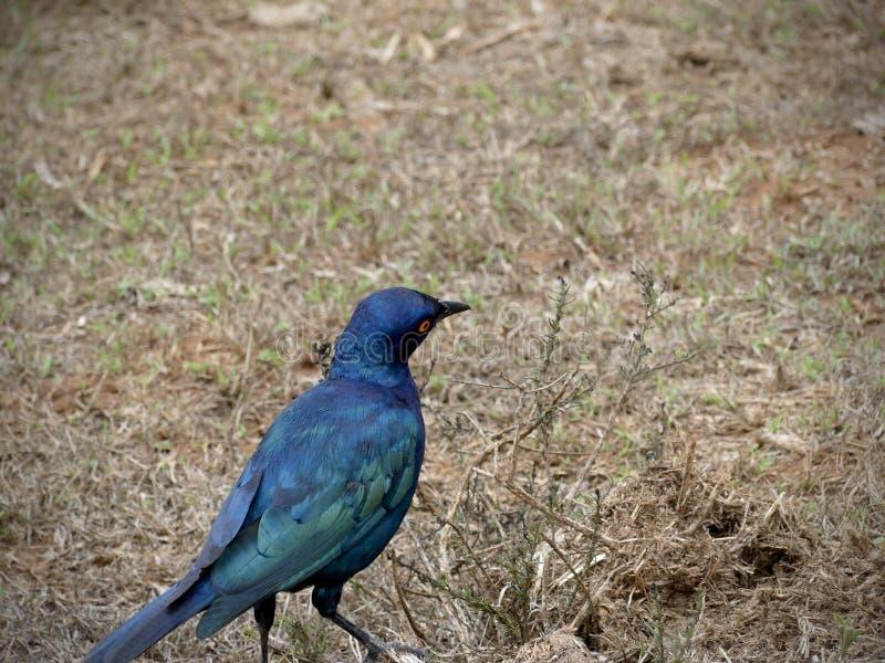 Starling накидки стоковая фотография rf