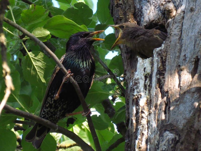 Starling на своем отверстии с маленькой птицей стоковые изображения rf