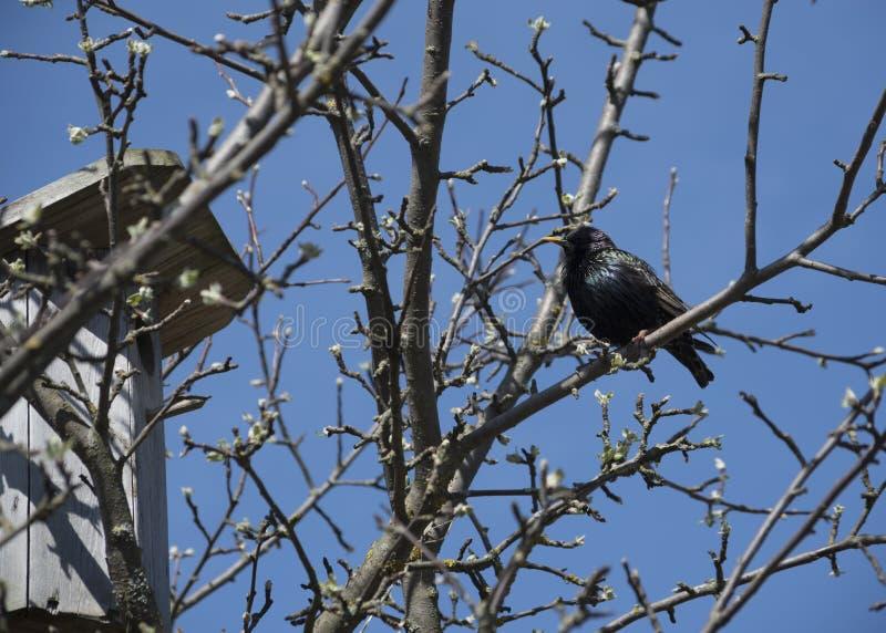 Starling на birdhouse стоковая фотография