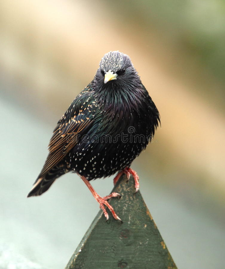Starling. photographie stock libre de droits