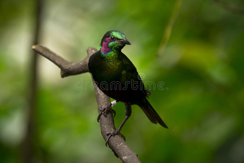 Starling. Green Starling bird, Tanzania, Africa royalty free stock photography