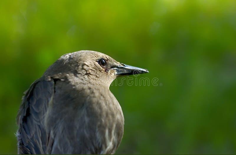 Starling ? image libre de droits